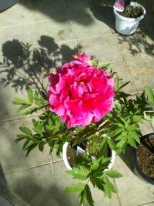 牡丹が咲きました。
